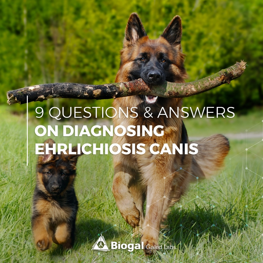 9 Questions & answers on diagnosing ehrlichiosis canis